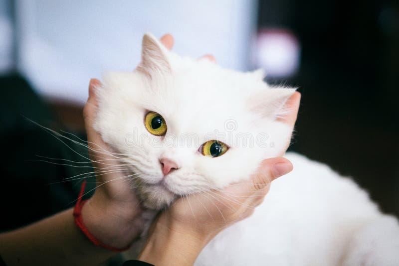 Gato blanco peludo hermoso fotos de archivo