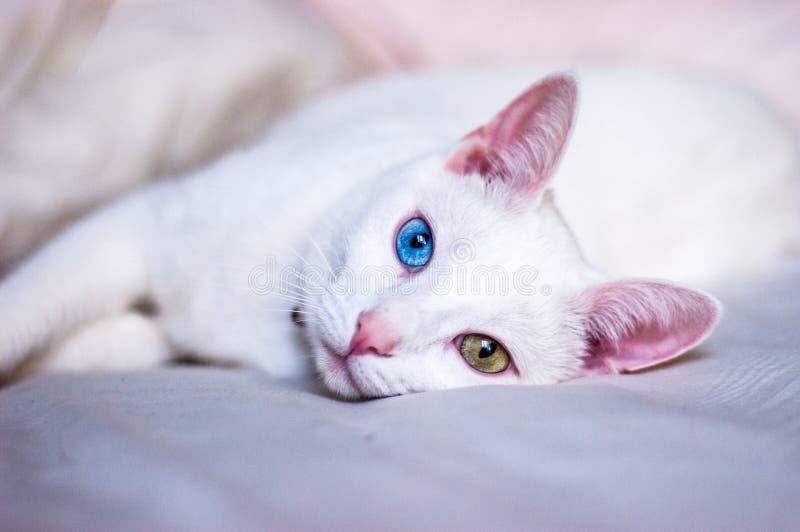 Gato blanco que intenta dormir, diversos ojos coloreados, oídos rosados y nariz fotografía de archivo