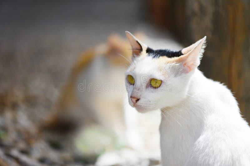 Gato blanco que se sienta con los ojos amarillos imagenes de archivo