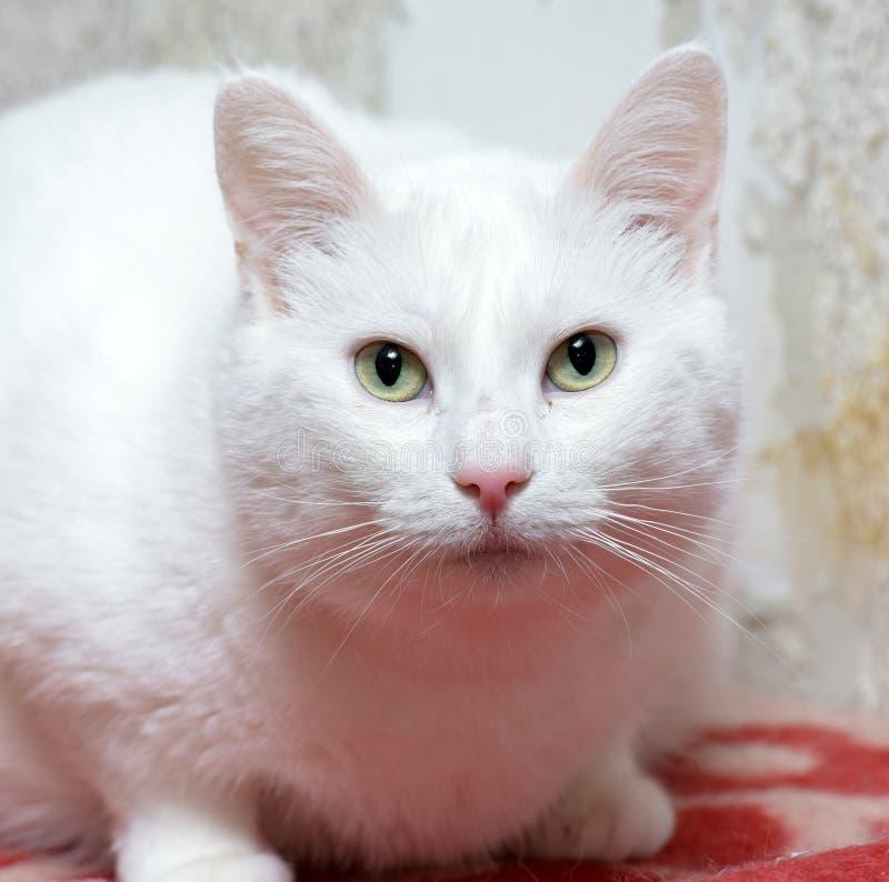 Gato blanco regordete fotografía de archivo