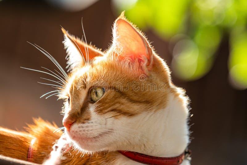 Gato blanco-rojo lindo en un cuello rojo relajarse en el jardín, cierre para arriba, profundidad del campo baja El gato est? mira fotos de archivo libres de regalías