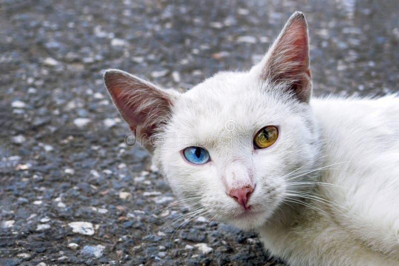 Gato blanco sin hogar con heterocromia mirando la cámara fotos de archivo
