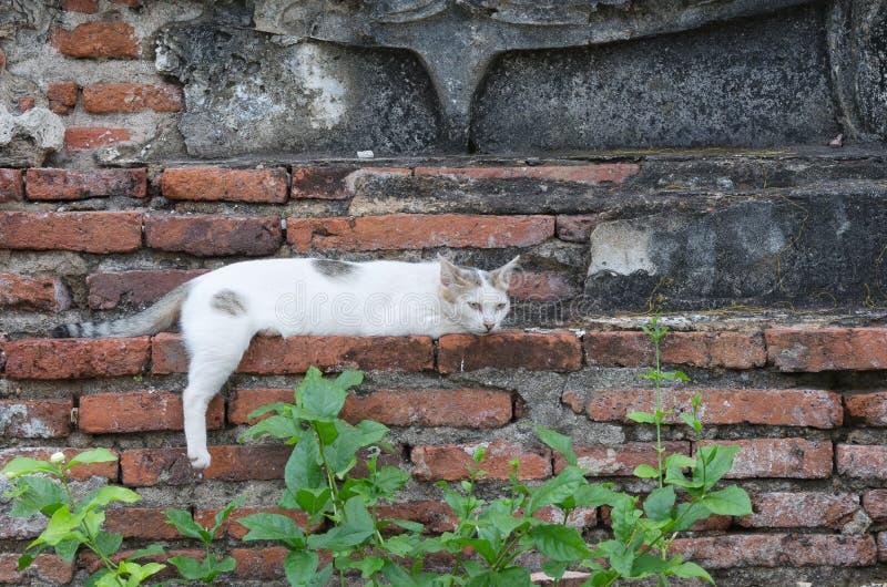 Gato blanco soñoliento que coloca en la pared del templo foto de archivo