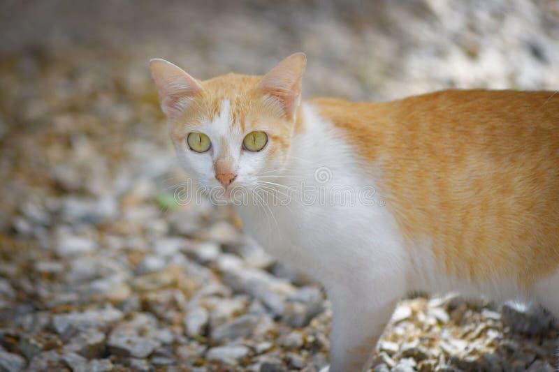 Gato blanco y anaranjado - gato del jengibre del gato atigrado fotografía de archivo