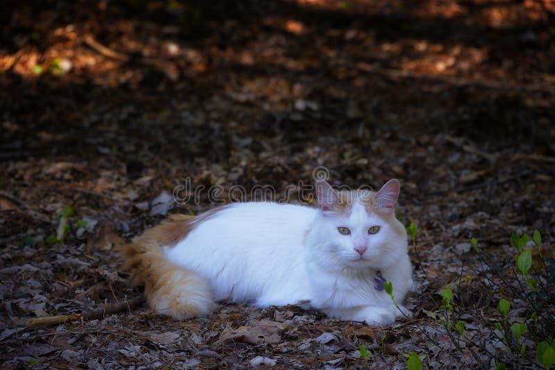 Gato blanco y anaranjado que pone en una área arbolada fotografía de archivo
