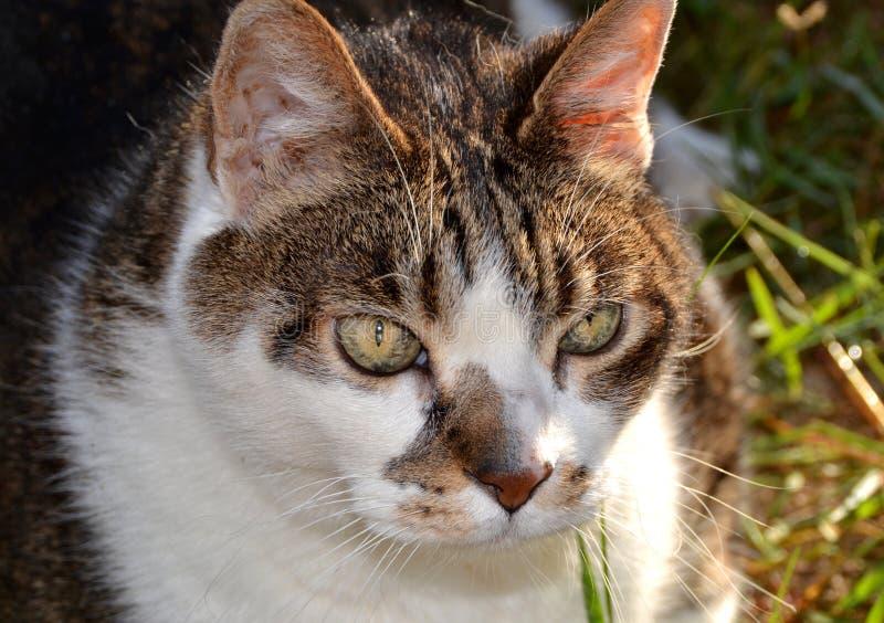Gato blanco y gris fotos de archivo libres de regalías