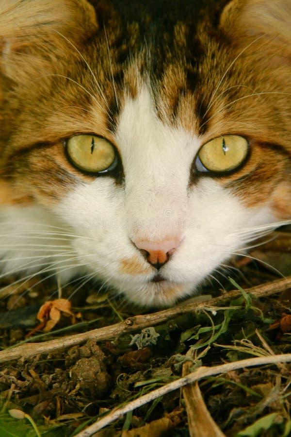 Gato blanco y marrón de Maine Coone