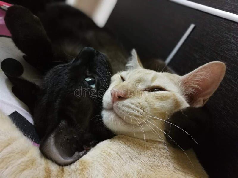 Gato blanco y negro foto de archivo libre de regalías