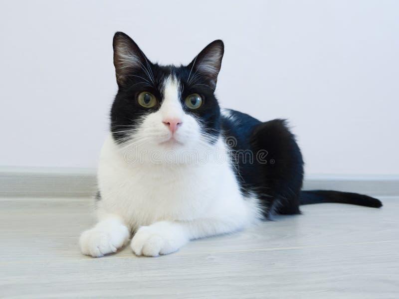 Gato blanco y negro casero que miente en el piso en el apartamento y miradas lejos con curiosidad fotos de archivo