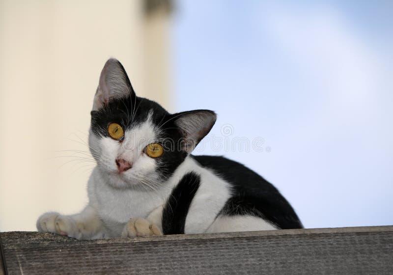 Gato blanco y negro con la cola negra, la sentada y el cuello inclinado en la cubierta de la casa fotos de archivo