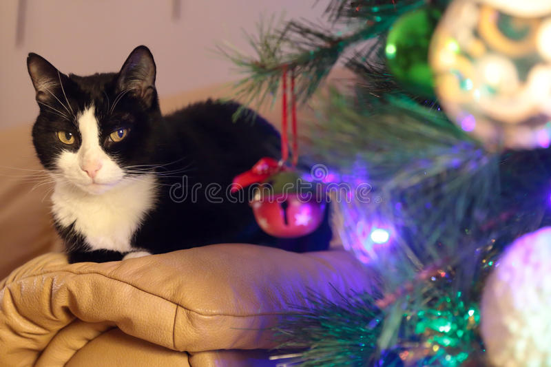 Gato blanco y negro a continuación un árbol de pino de la Navidad imágenes de archivo libres de regalías