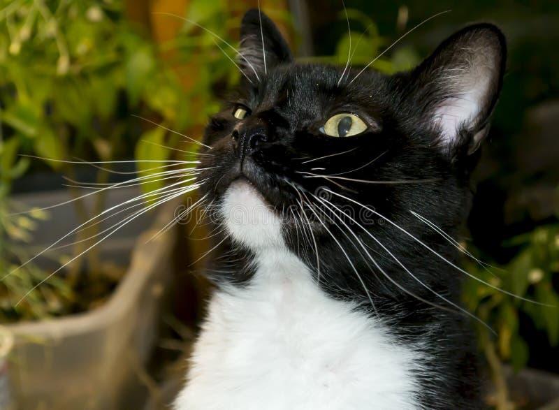 Gato blanco y negro del smoking imagen de archivo libre de regalías