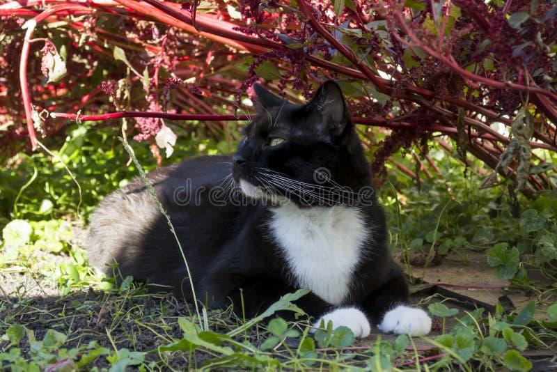 Gato blanco y negro del smoking en amaranto foto de archivo libre de regalías