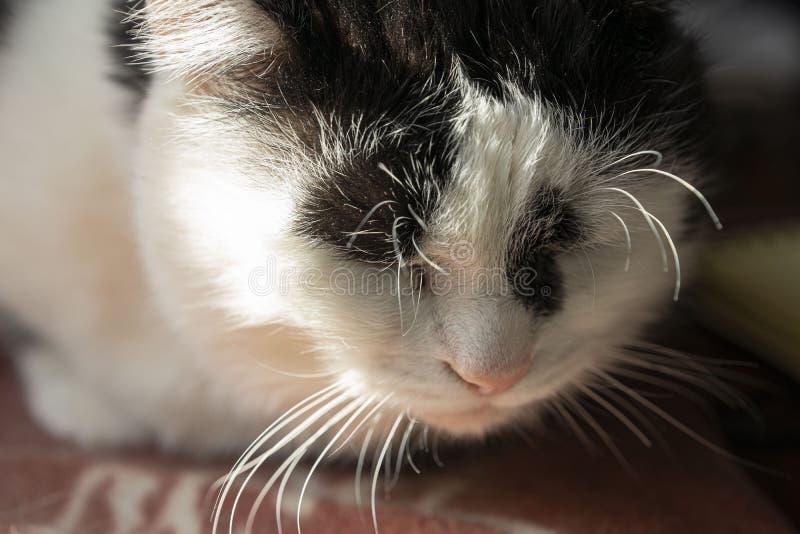 Gato blanco y negro el dormir, un arte grande del retrato foto de archivo libre de regalías