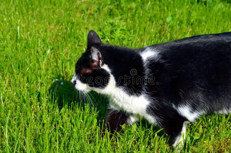 Gato blanco y negro en la hierba imagen de archivo libre de regalías