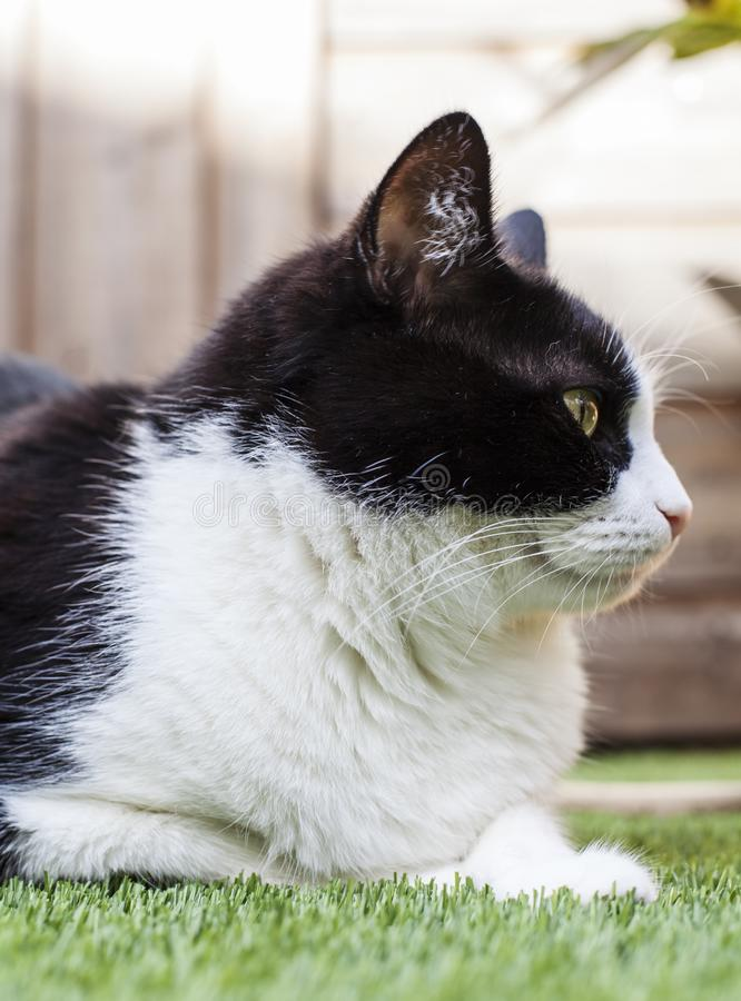 Gato blanco y negro en un jardín en un día soleado - un cuello mullido imagen de archivo