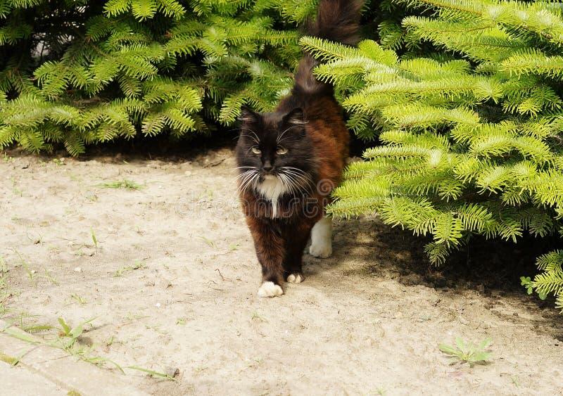 Gato blanco y negro hermoso en un árbol verde peludo al aire libre fotografía de archivo libre de regalías