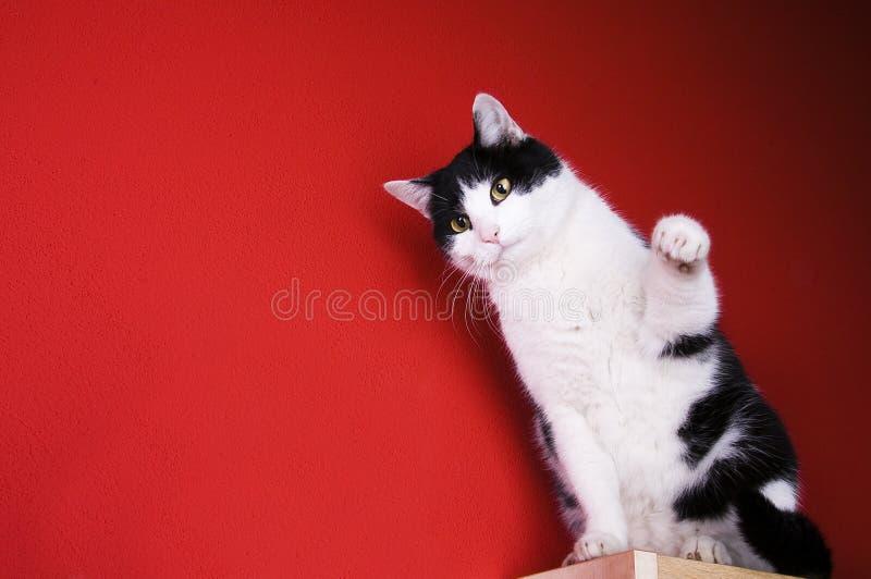 Gato blanco y negro que se sienta