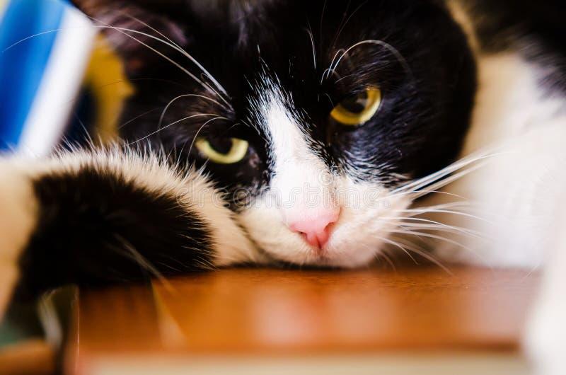 Gato blanco y negro triste fotos de archivo