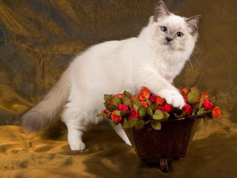 Gato bonito bonito de Ragdoll com rosas fotografia de stock royalty free