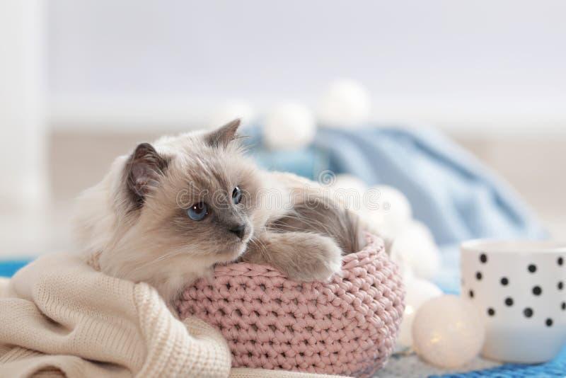 Gato bonito com a cobertura feita malha na cesta em casa imagem de stock royalty free