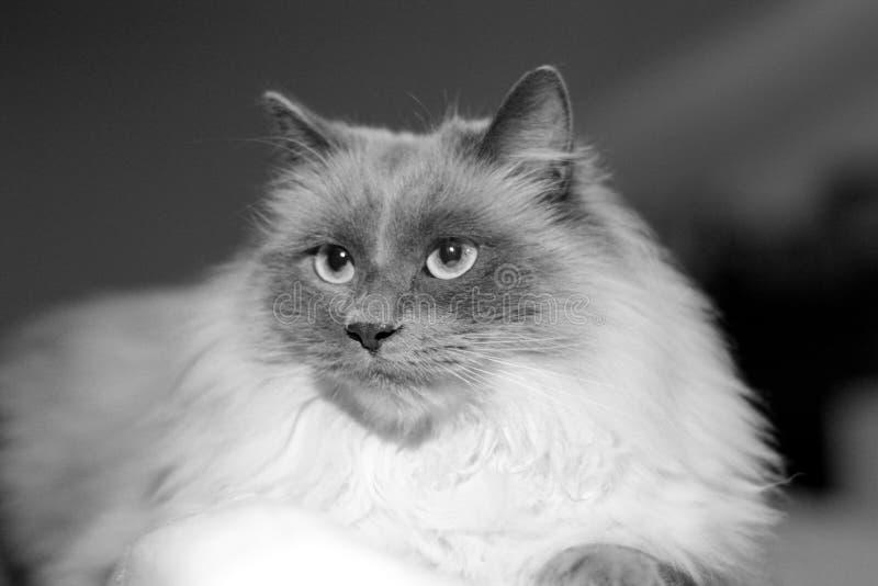 Gato bonito com o cabelo longo, preto e branco imagem de stock