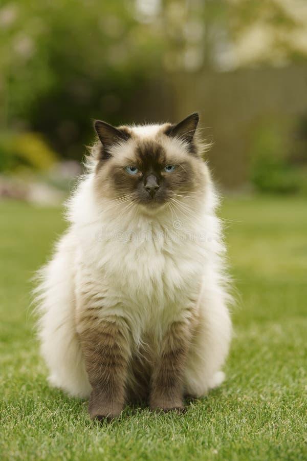 Gato bonito da vaquinha de Ragdoll com os olhos azuis que sentam diretamente a grama em um jardim fotos de stock royalty free