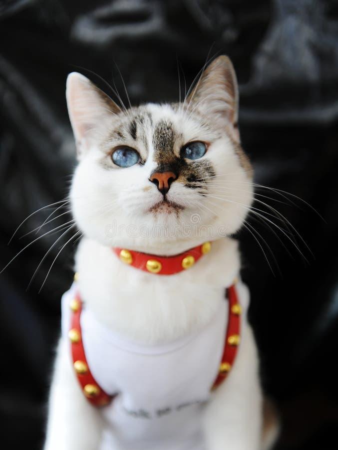 Gato bonito de olhos azuis branco vestido no t-shirt e em um chicote de fios de couro vermelho Equipamento à moda com acessórios  foto de stock