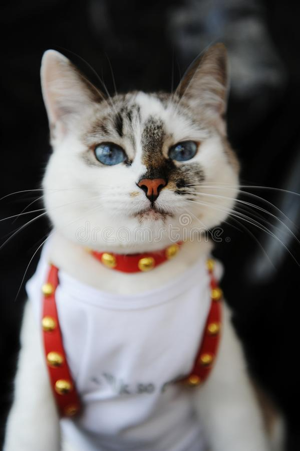 Gato bonito de olhos azuis branco vestido no t-shirt e em um chicote de fios de couro vermelho Equipamento à moda com acessórios  imagem de stock