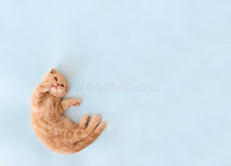 Gato bonito de sorriso Gatinho escocês pequeno bonito da dobra que encontra-se no fundo azul e que mostra com sua pata de lado Co fotografia de stock royalty free