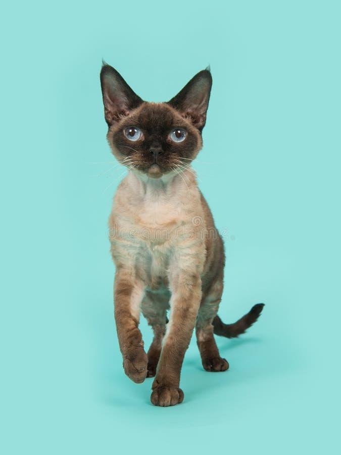 Gato bonito del rex de Devon del punto del sello con los ojos azules que camina a la cámara en un backgroun del azul de la menta imagen de archivo