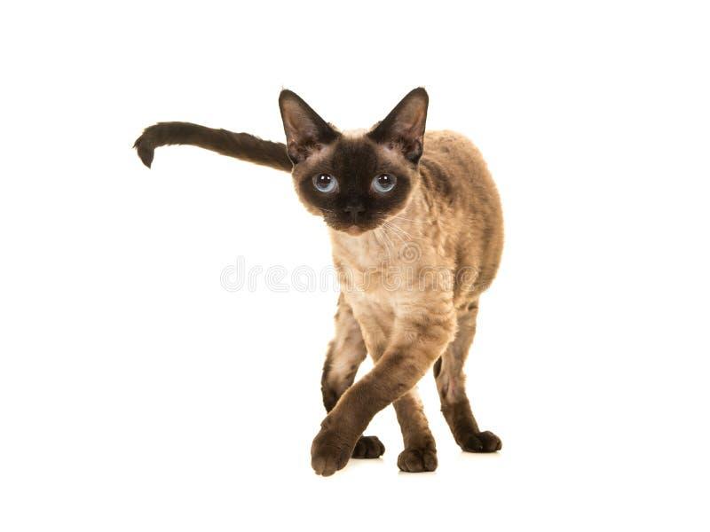 Gato bonito del rex de Devon del punto del sello con los ojos azules que camina a la cámara y que mira derecho en la cámara fotografía de archivo