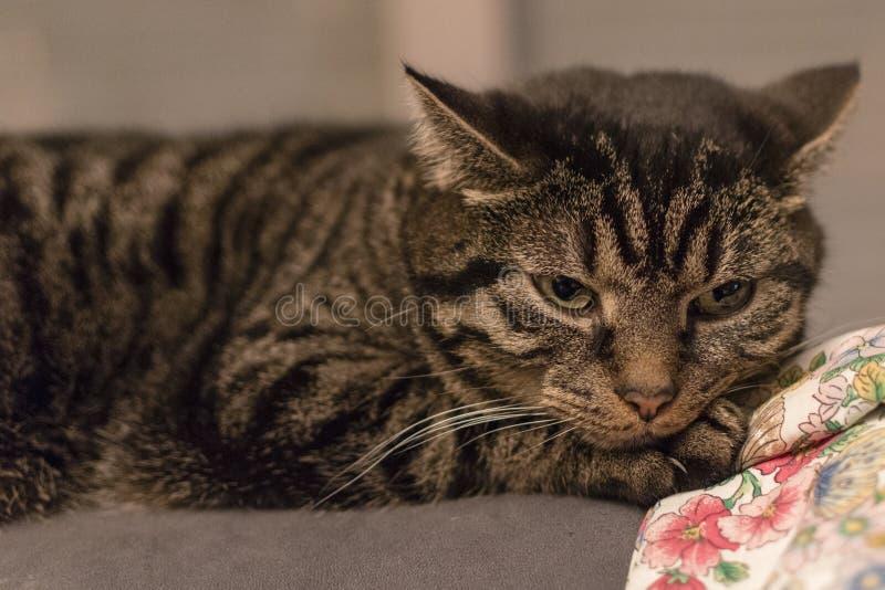 Gato bonito e listrado relaxado imediatamente depois de acordar foto de stock royalty free