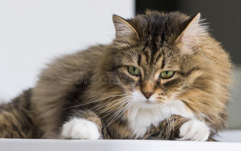 Gato bonito en la casa que mira hacia fuera, gato de gato atigrado marrón fotografía de archivo