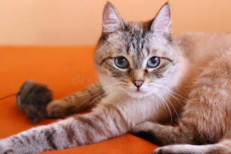 Gato bonito na sala de visitas que olha na câmera Gato com olhos azuis lindos foto de stock royalty free