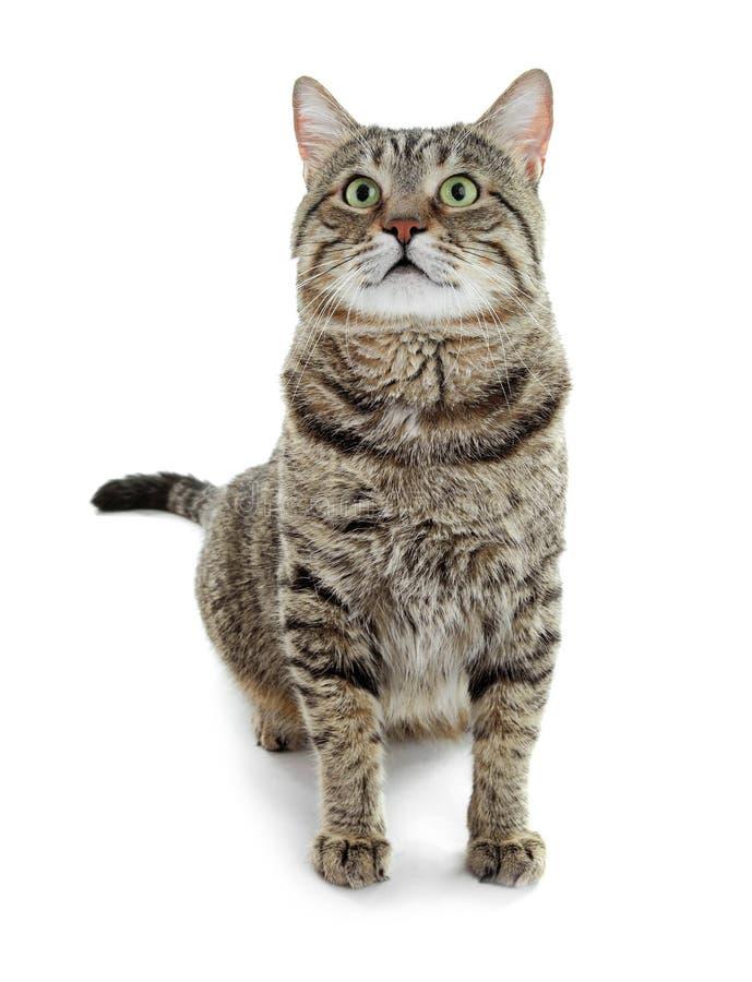 Gato bonito no fundo branco Animal de estimação encantador imagens de stock