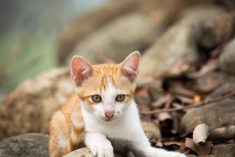 Gato bonito novo da vaquinha que coloca na rocha imagem de stock royalty free