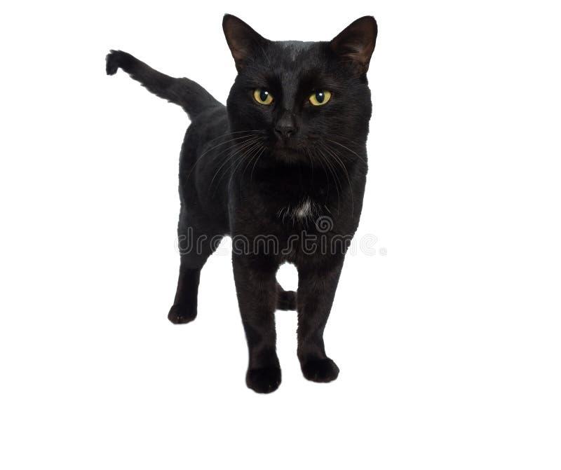 Gato bonito preto imagem de stock royalty free