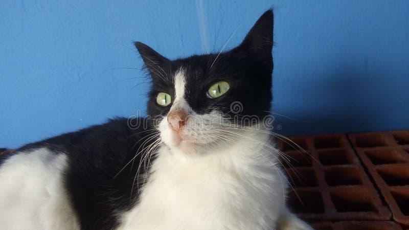 Gato bonito preto e do whit fotografia de stock royalty free