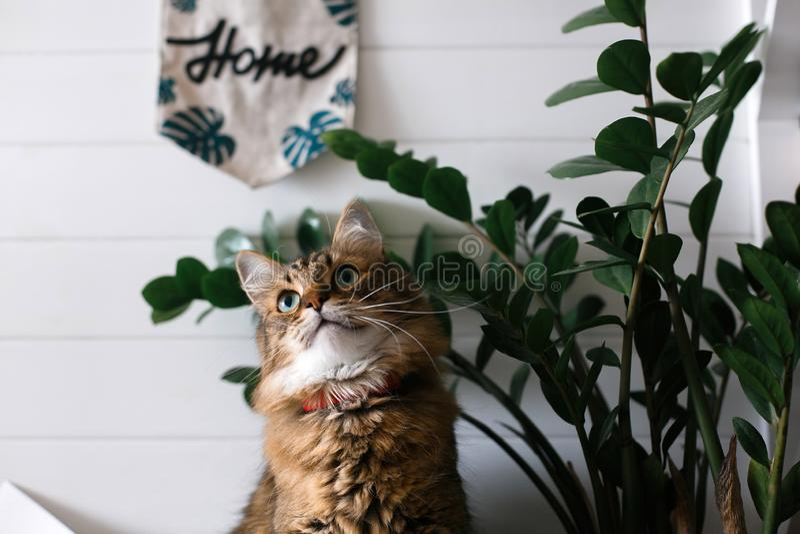 Gato bonito que senta-se sob ramos da planta verde e que relaxa na prateleira de madeira no backgroud branco da parede na sala à  fotos de stock royalty free