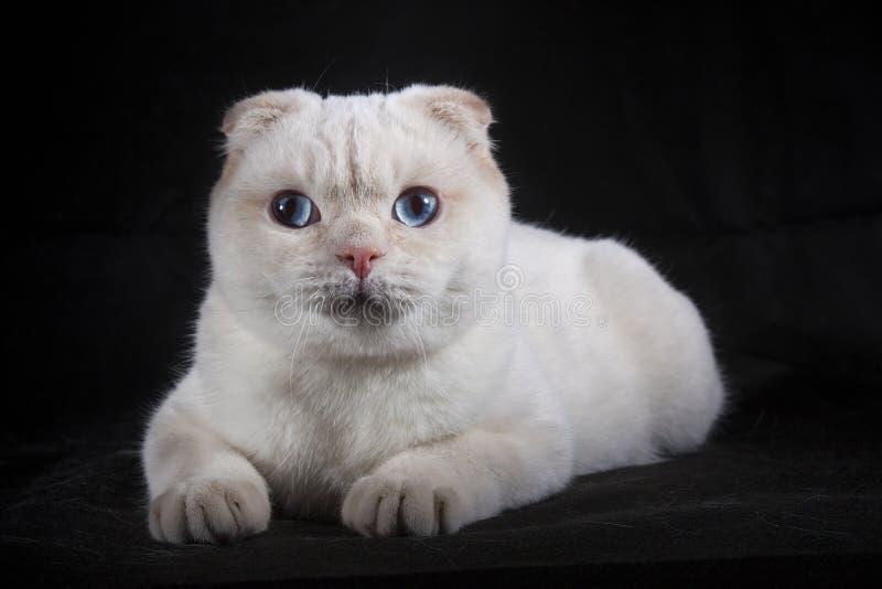 Gato branco bonito com olhos azuis foto de stock royalty free