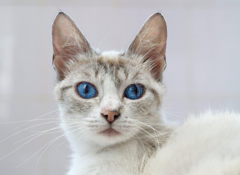 Gato branco com olhos azuis fotografia de stock