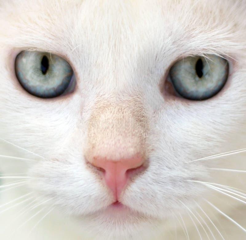 Gato branco com retrato dos olhos azuis foto de stock