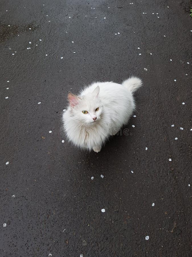 Gato branco da neve foto de stock