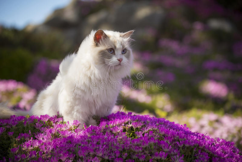 Gato branco de Ragdoll fotografia de stock royalty free