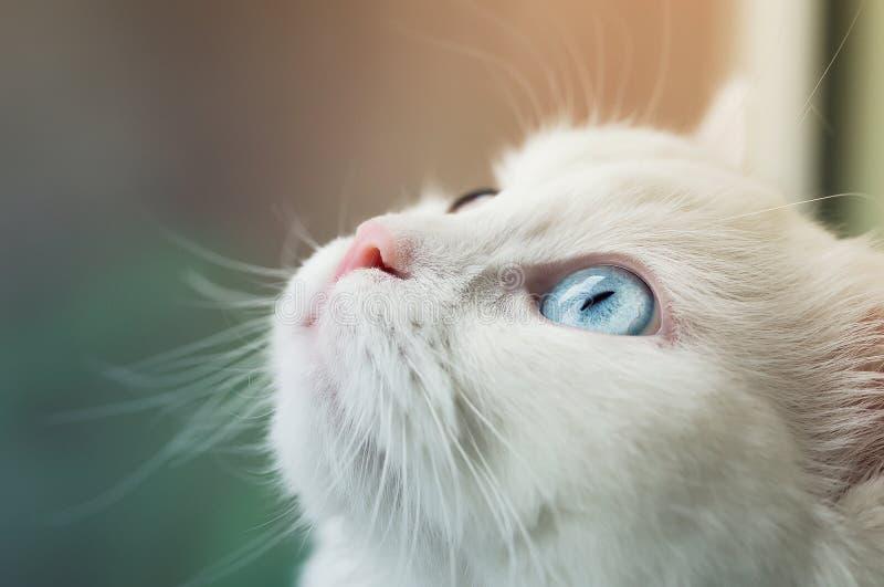 Gato branco do angora com os olhos diferentes azuis e amarelos que olham acima curiosamente imagem de stock
