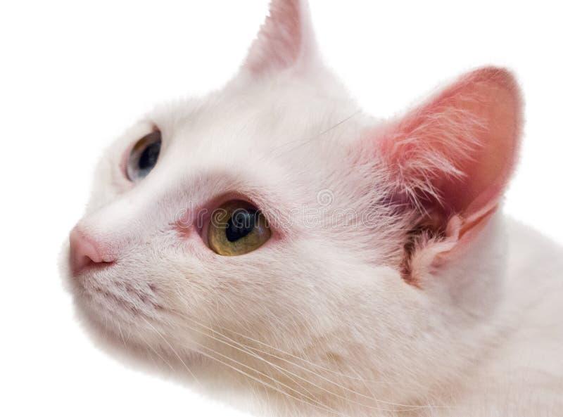 Gato branco do angora isolado fotos de stock royalty free