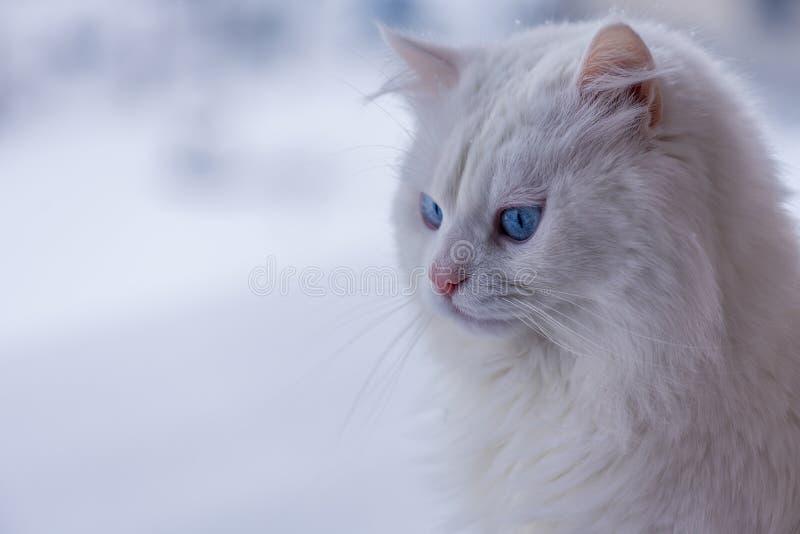 Gato branco do retrato na neve fotografia de stock