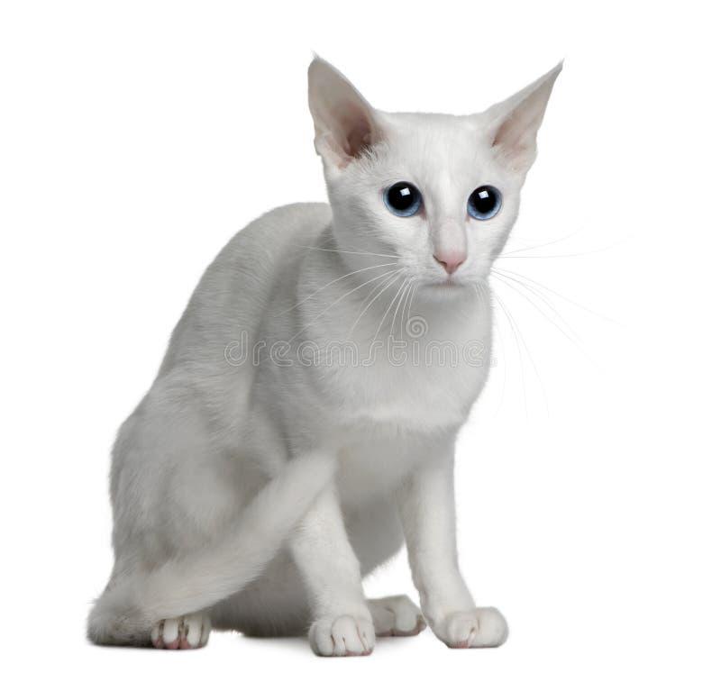 Gato branco extrangeiro oriental, o 1 anos de idade foto de stock royalty free