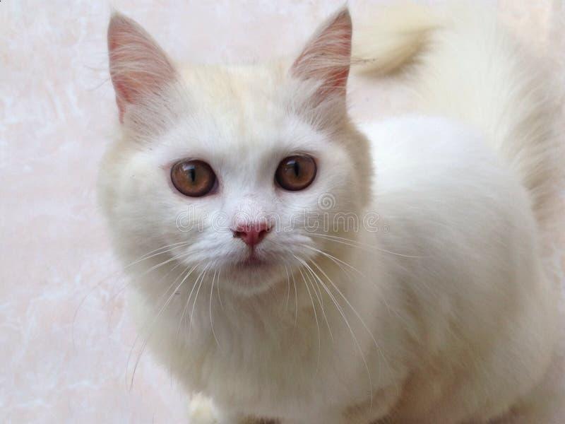 Gato branco, gatinho, animal de estimação home, bonito, olhos fotos de stock royalty free